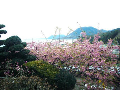 河津桜 066.JPG